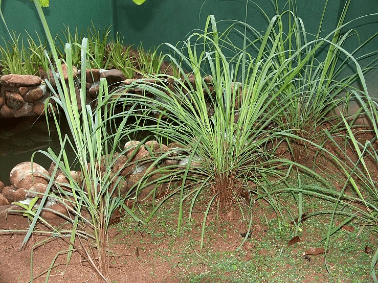 Citronella grass to make mosquito away