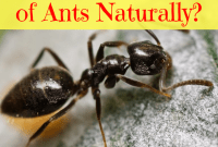 how to get rid of ants naturally baking soda